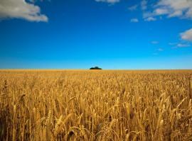 Пшеница из Казахстана для Китайского рынка