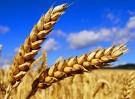 哈萨克斯坦特级食用小麦