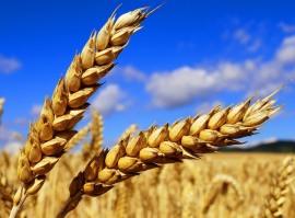 Пшеница продовольственная из Казахстана